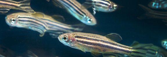 pez cebra y cancer